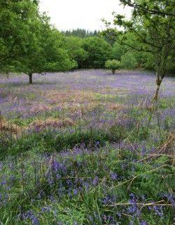 Dartmoor in Spring: English bluebells and German conversations
