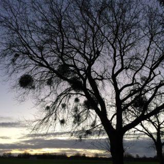 Mysterious Mistletoe