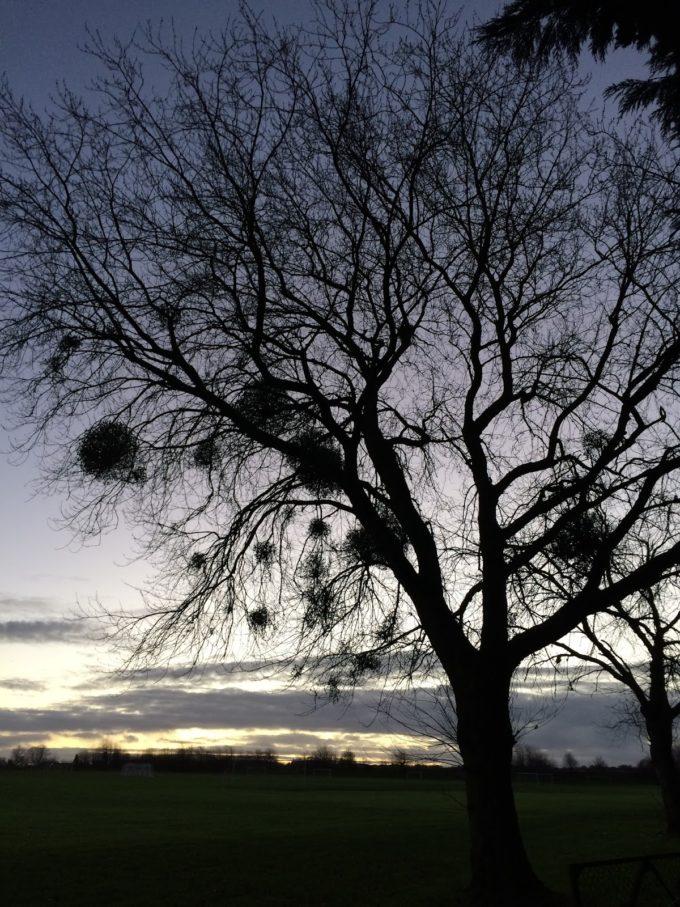 tree mistletoe