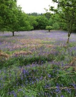 Devon in May: English bluebells and German conversations