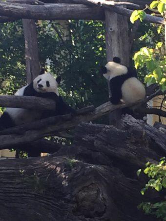 Schoenbrunn Zoo pandas